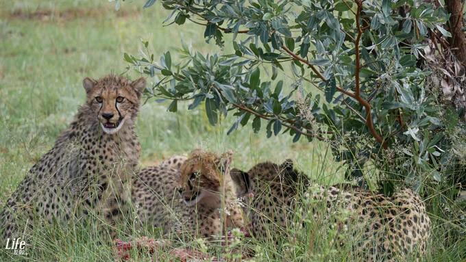 Geparden auf der Jagd im Welgevonden Game Reserve