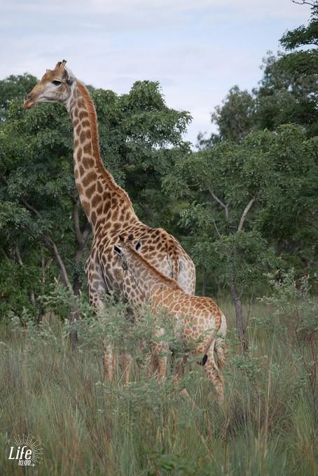 Giraffe mit Jungtier Welgevonden Game Reserve