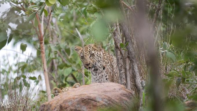Junger Leopard auf Safari im Welgevonden Game Reserve