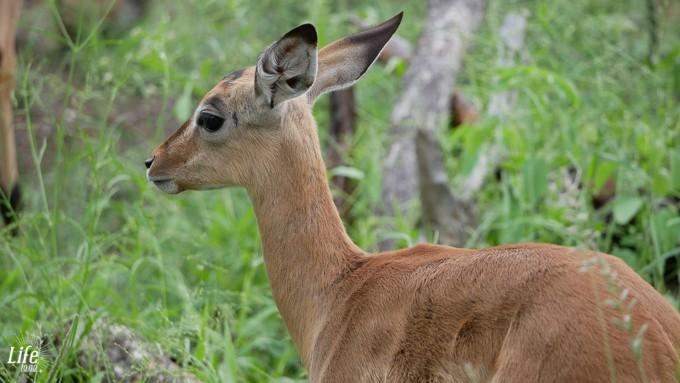Jungtier im Krüger Nationalpark