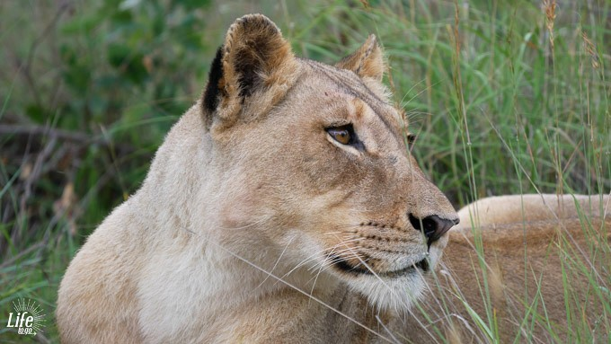 Löwe auf Gamedrive Welgevonden Game Reserve