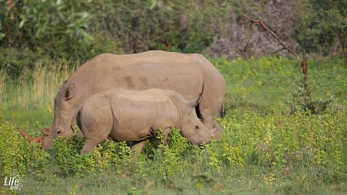 Nashörner auf malariafreier Safari