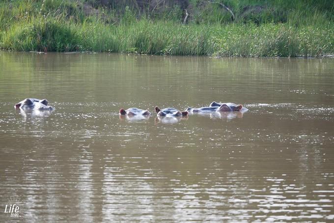 Nilpferde im Welgevonden Game Reserve