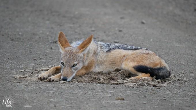 Schakal im Krüger Nationalpark