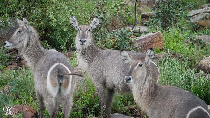 Waterbucks auf Safari