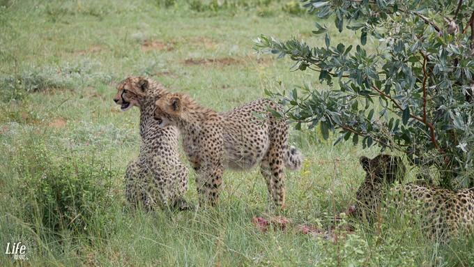 junge Geparden fressen ein Zebra