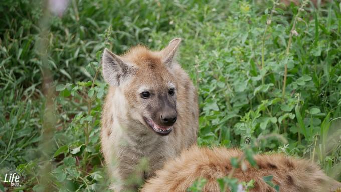 junge Hyaene im Krüger Nationalpark