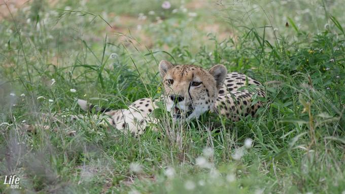 junger Gepard im Krüger Nationalpark