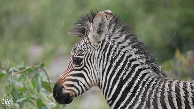 kleines Zebra auf Safari