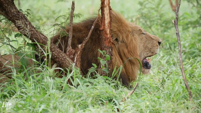 männlicher Löwe im Krüger Nationalpark