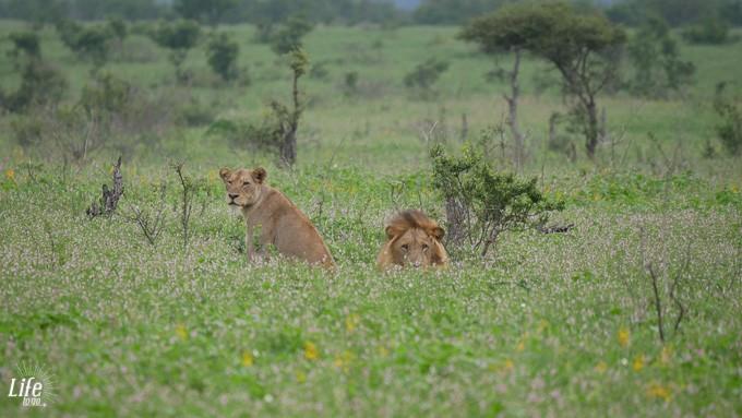 wilde Löwen