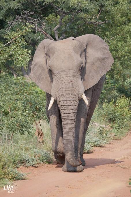 großer Elefantenbulle auf Safari