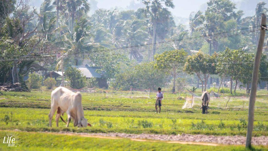 Kampot Reisfeld