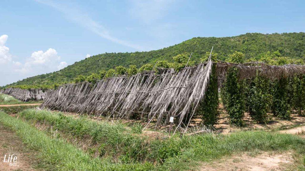 Pfeffer Anbau in Kampot - La Plantation
