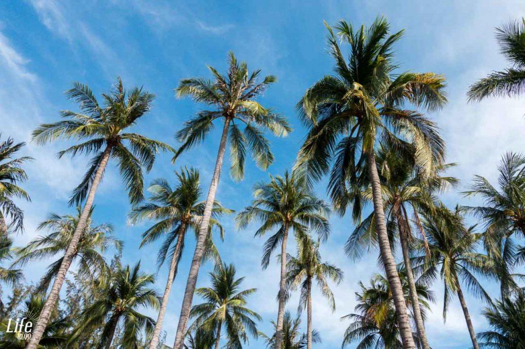 Palmen in Mui Ne in Vietnam