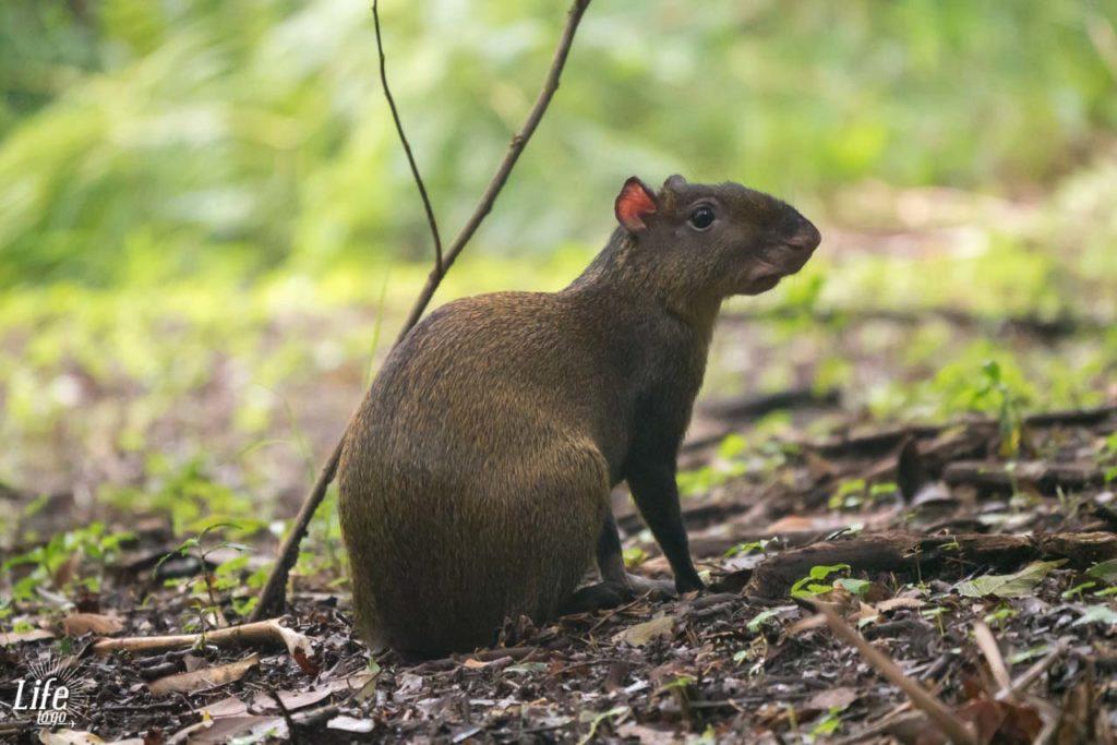 Aguti Costa Rica Curi Cancha Reserve Monteverde