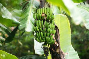 Bananenstaude Costa Rica Curi Cancha Reserve Monteverde