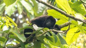 Brüllaffe Arenal Paraiso Costa Rica