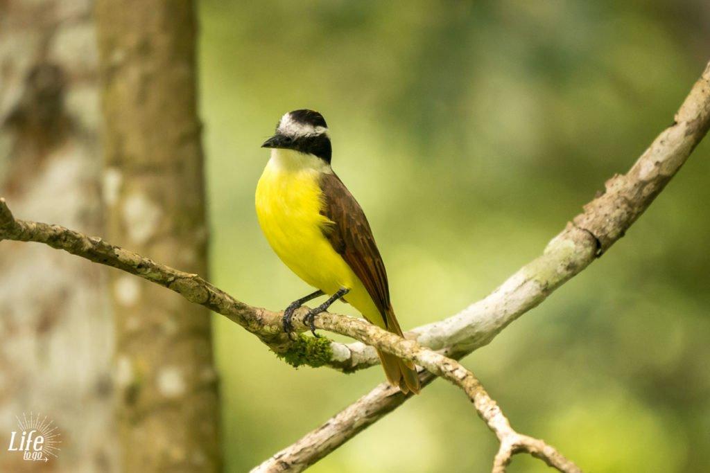 Bunter Vogel in Costa Rica bei Carara