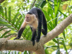 Cahuita Nationalpark Kapuzineraffe
