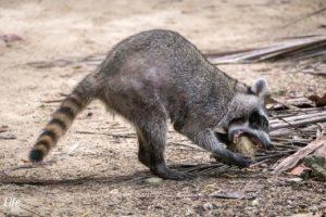 Cahuita Nationalpark Waschbär beim fressen