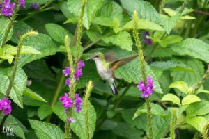Costa Rica Kolibri Monteverde Curi Cancha Reserve