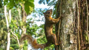 Eichhönchen im Cahuita Nationalpark