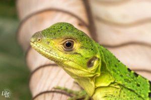 Gründe Echse in Nahaufnahme in Costa Rica