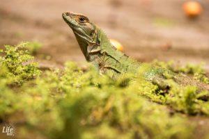 Grüne Echse Costa Rica