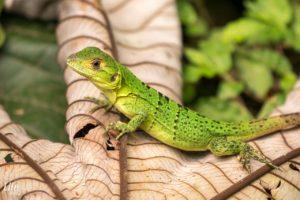 Grüne Echse in Costa Rica
