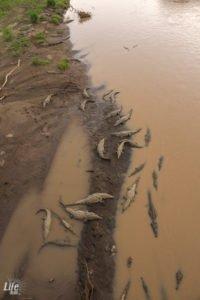Gruppe Spitzmaulkrokodile in Costa Rica