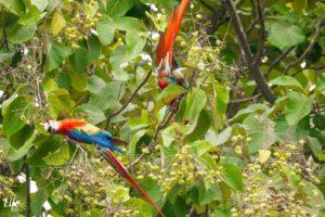 Hellrote Ara Costa Rica