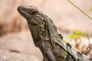 Iguana Carara Costa Rica