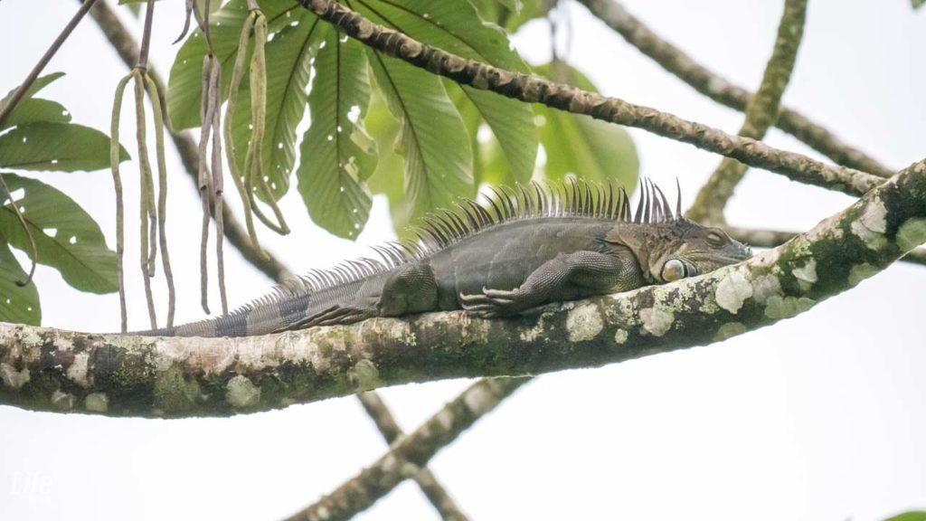 Iguana Arenal Paraiso Costa Rica