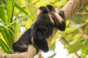 Kapuzineraffe mit Baby Cahuita Nationalpark