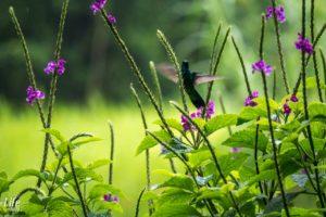 Kolibri Flügelschlag Costa Rica
