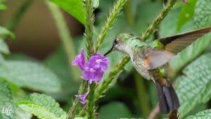 Kolibri Foto Costa Rica