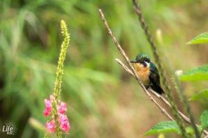 Kolibri Monteverde Curi Cancha Reserve