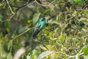 Kolibri auf Ast in Costa Rica