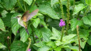 Kolibri im Curi Cancha Reserve Monteverde