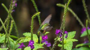 Kolibri steht in der Luft