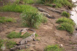 Krokodile Rio Tarcoles Costa Rica