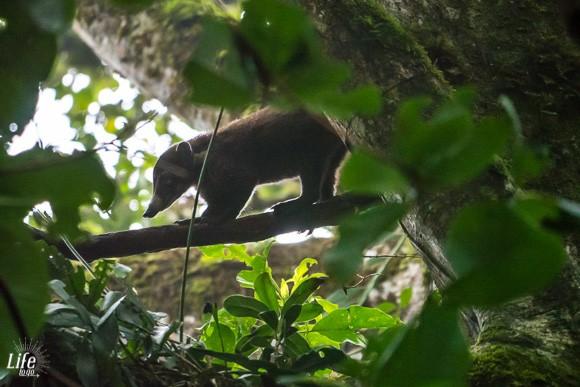 Nasenbär - Weißrüsselnasenbär in Costa Rica im Curi Cancha Reserve Monteverde