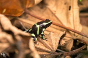 Pfeilgiftfrosch auf Blatt in Costa Rica