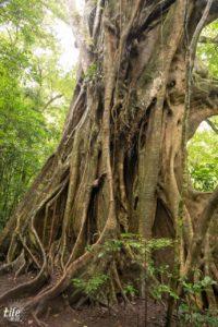 Riesiger Baum Curi Cancha Reserve in Monteverde