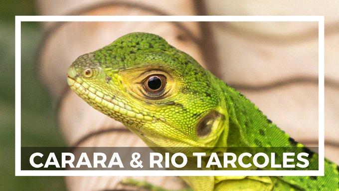 Rio Tarcoles Krokodile Costa Rica