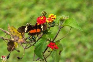 Schmetterlink Curi Cancha reserve Manuel Antonio Costa Rica