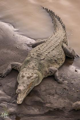 riesiges Krokodil unter der Rio Tarcoles Brücke in Costa Rica bei Carara