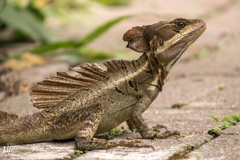 urzeitartige Echse in Costa Rica