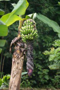 wildwachsende Bananen im Curi Cancha Reserve Monteverde Costa Rica